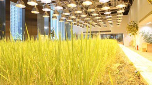 Văn phòng Nhật độc đáo với ruộng lúa chín vàng