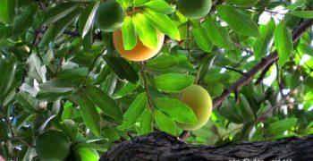 Phong thủy nhà ở: Có nên trồng cây thị trước nhà?