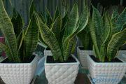 Phong thủy phòng khách nên trồng cây gì thu hút tài lộc? (Phần 1)