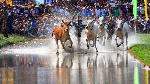 Không khí sôi động của Lễ hội đua bò Bảy Núi ở Châu Đốc (An Giang)