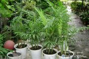 Nên trồng cây gì trước cửa để thu hút tài lộc vào nhà? (Phần 2)