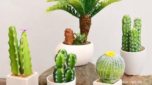 Vì sao không nên trưng bày cây xương rồng trong nhà hay trên bàn làm việc?