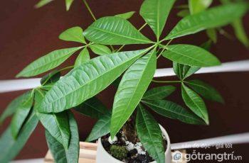 Ý nghĩa phong thủy của cây Kim Ngân và cách chăm sóc