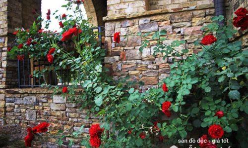 Ý nghĩa phong thủy của cây hoa hồng