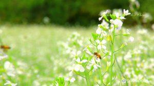 Ngắm hoa cải trắng tinh khôi ở Mộc Châu (Ảnh internet)