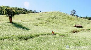 Đến du lịch Mộc Châu, bạn sẽ được chiêm ngưỡng những cánh đồng cải trắng bạt ngàn (Ảnh internet)