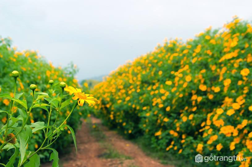 Cuối tháng 10 bắt đầu mùa hoa dã quy tại Đà Lạt (ảnh internet)