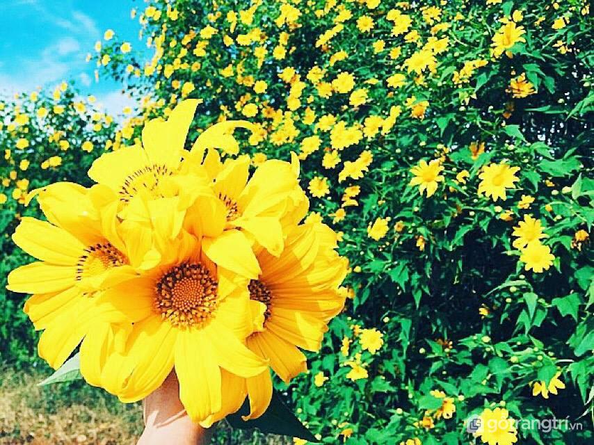 Đà Lạt trong mùa hoa dã quỳ được nhuộm màu vàng óng mượt (ảnh internet)