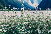 Du lịch Hà Giang tháng 12 ngắm mùa hoa tam giác mạch đẹp tinh khôi