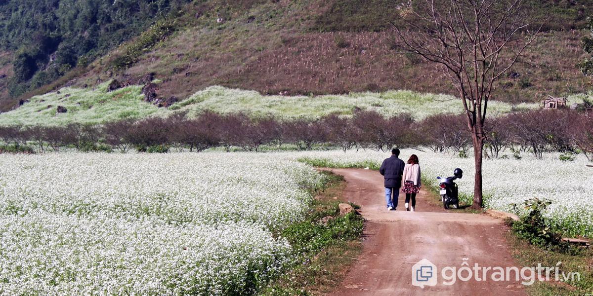 Tháng 11 – Du lịch Mộc Châu ngắm hoa cải trắng nở rộ khắp đất trời