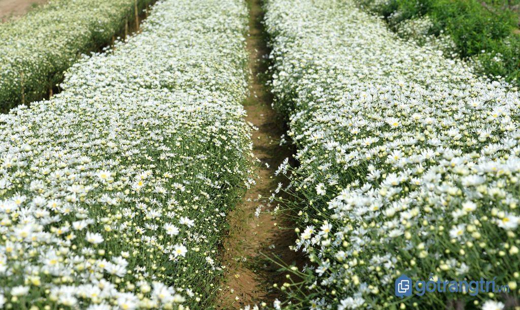Những luống hoa cúc họa mi nở rộ ở vườn hoa Tây Lựu dịp cuối năm. (ảnh: internet)