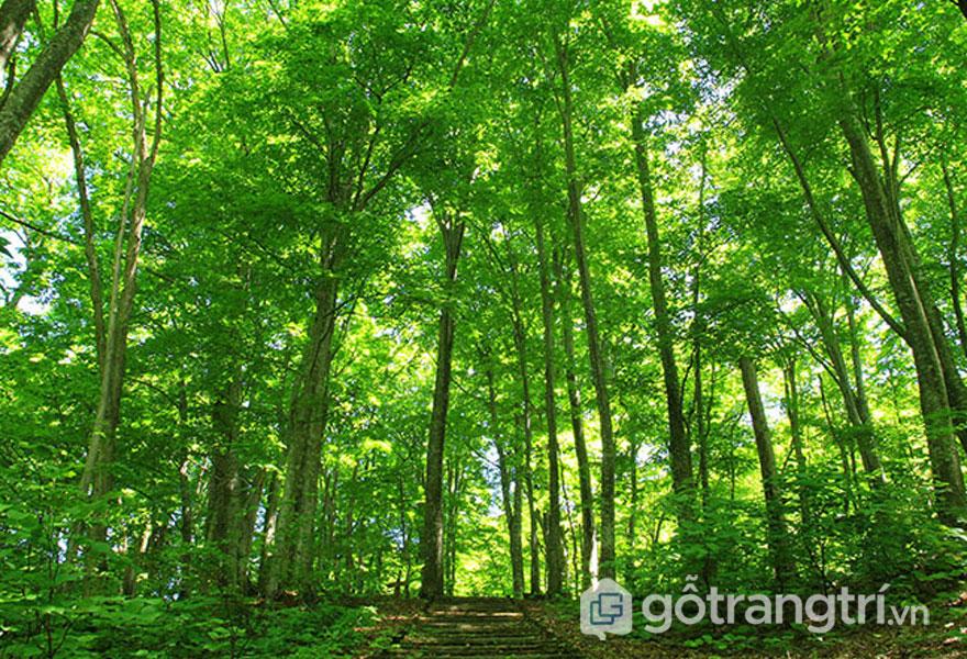 Sự phân bố của cây gỗ keo tự nhiên (Ảnh: Internet)