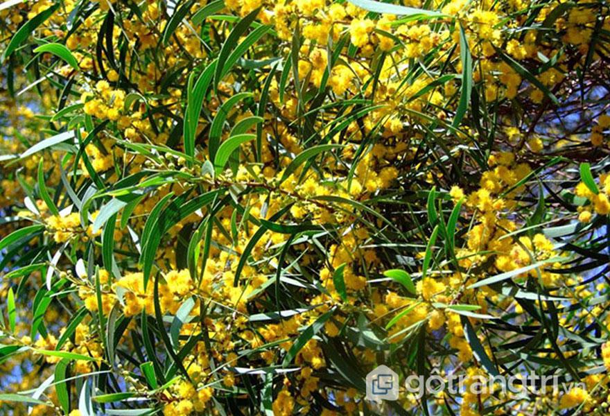 Hoa cây gỗ keo tự nhiên có màu vàng, hay màu kem (Ảnh: Internet)