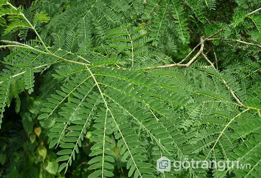 Lá cây gỗ keo dài và réo (Ảnh: Internet)