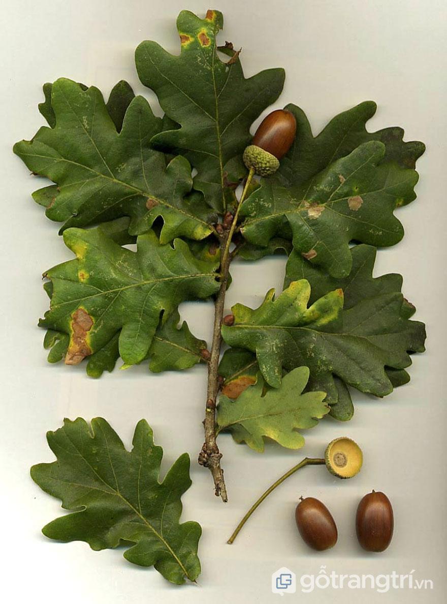 Lá và quả gỗ sồi (Ảnh: vi.wikipedia.org)