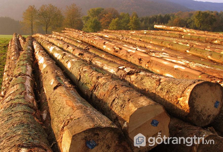 Thân cây gỗ sồi (Ảnh: Internet)