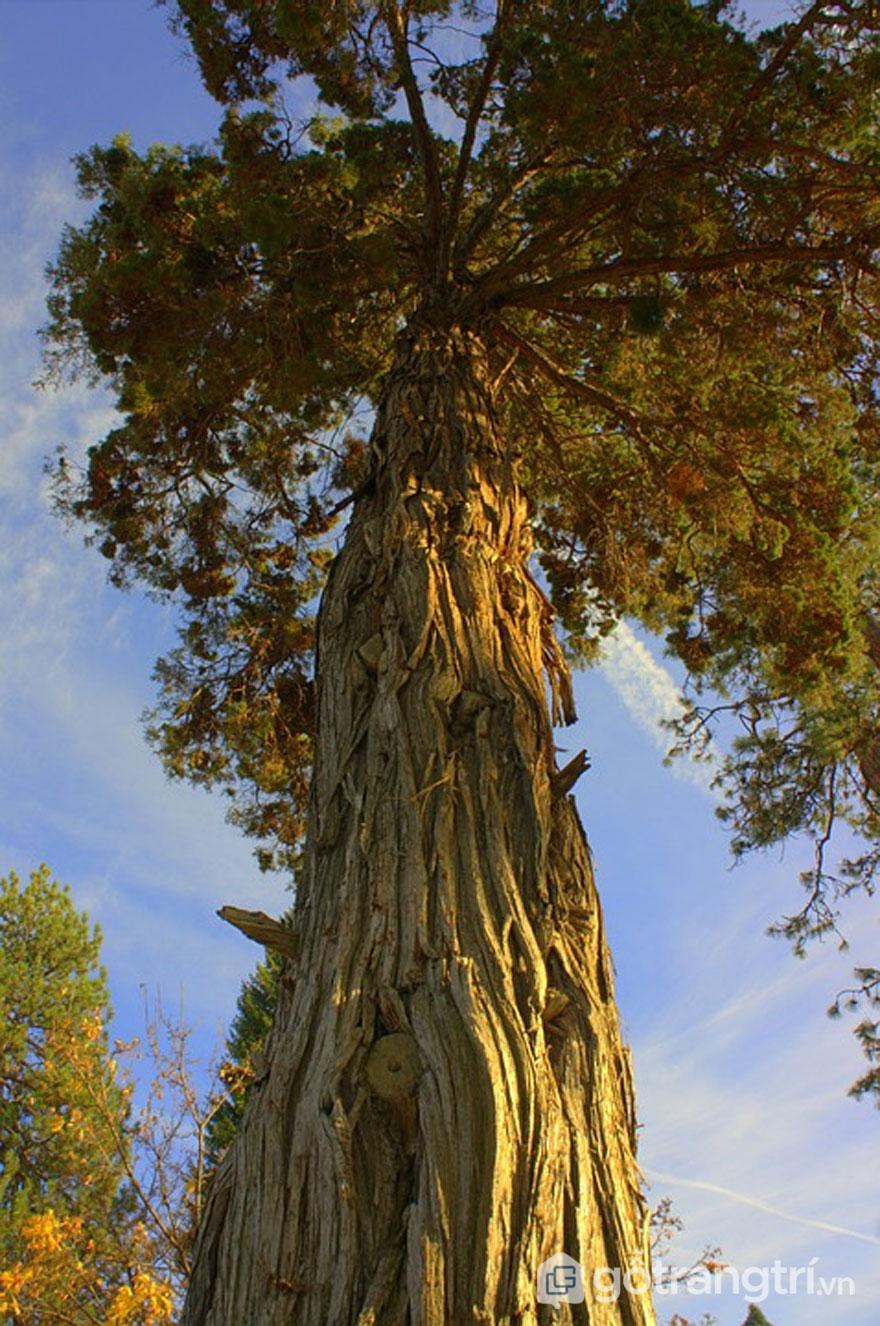 Đặc điểm hình thái cây gỗ thông (Ảnh: Internet)