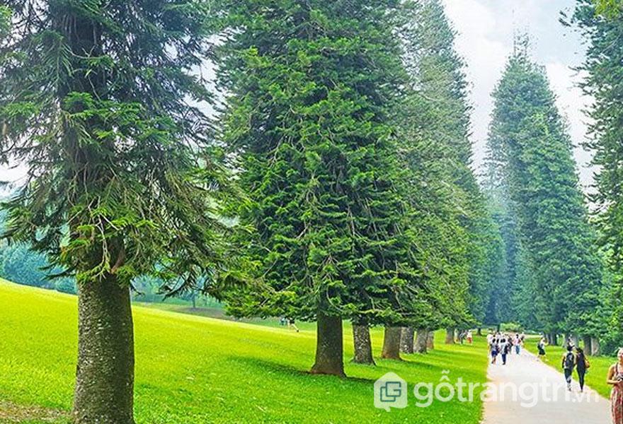 Phân loại gỗ thông (Ảnh: Internet)