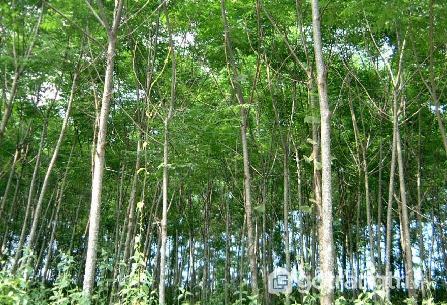 Cây xoan đào cao trung bình từ 20 - 25m, đường kính thân gỗ từ 40 - 60cm (Ảnh: Internet)