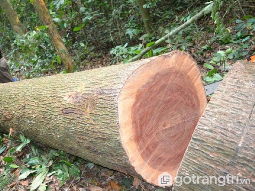 Cây xoan đào khi được khai thác lấy gỗ (Ảnh: Internet)