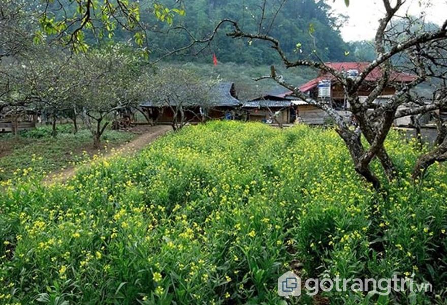 Vườn cải Ba Phách (ảnh internet)