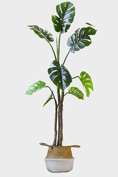 Cay-trau-ba-dep-cho-phong-ngu-loai-150-cm-GHS-6585-3-ava