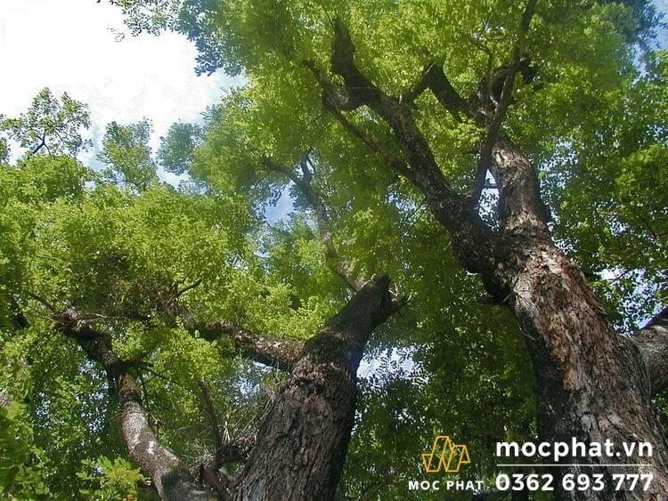thân cây gỗ căm xe